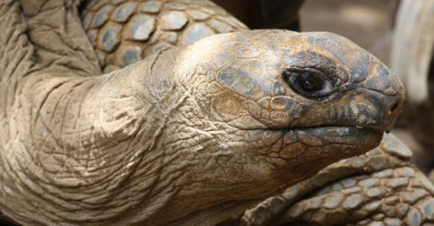 Close up photo of giant tortoise head