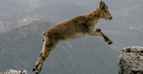 A mountain goat jumping a gap