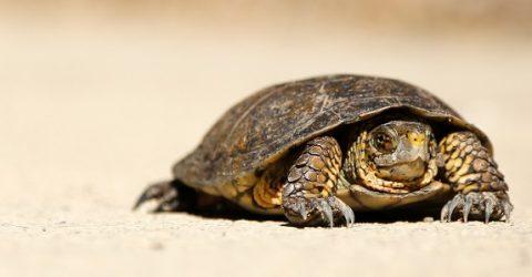 A tortoise walking on sand